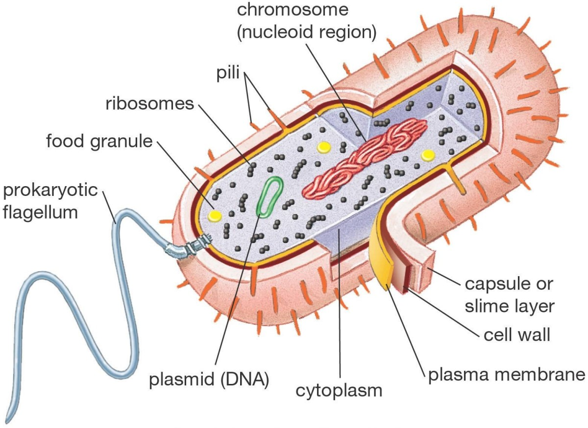 This diagram shows what a typical prokaryotic cell looks like.
