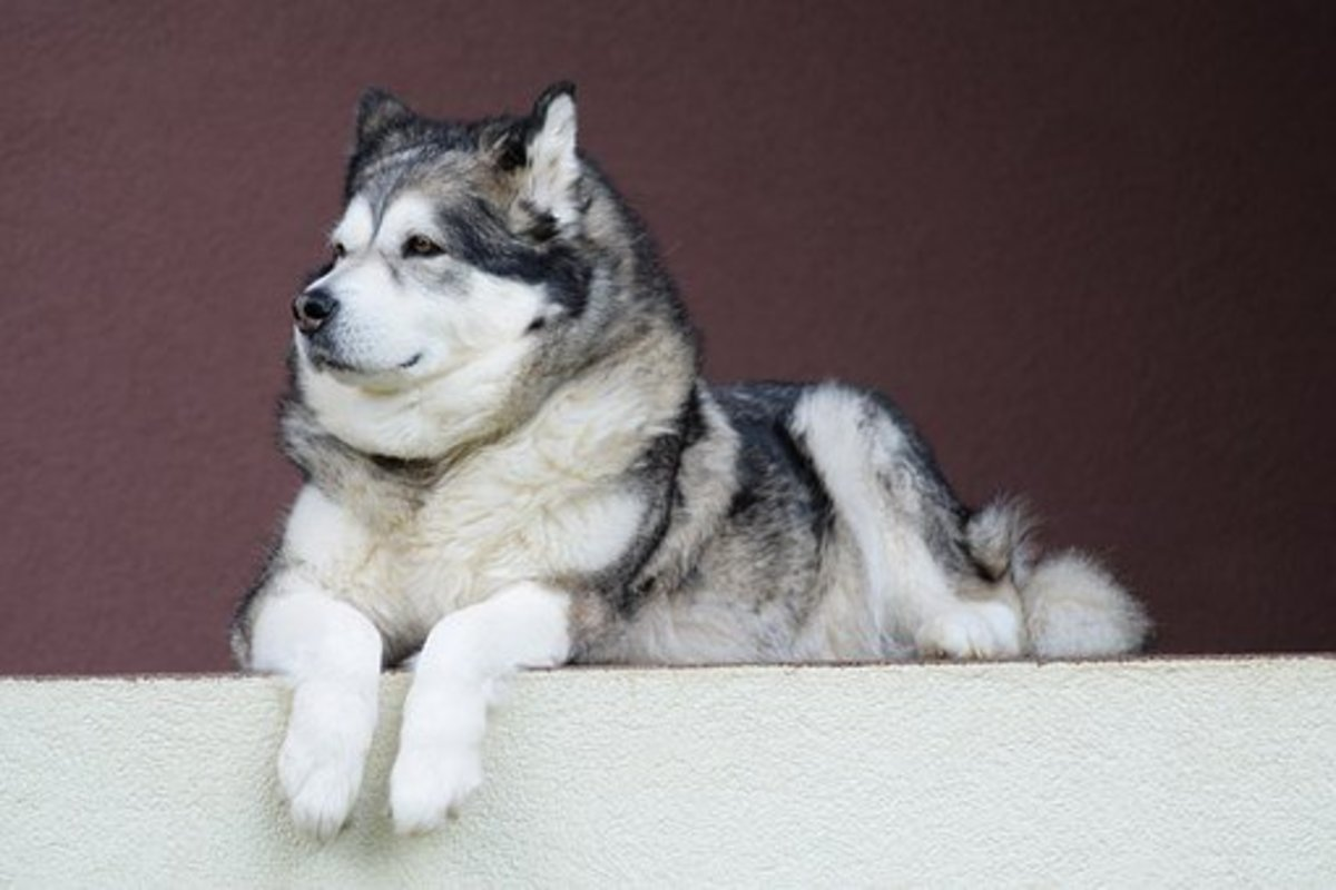 This Alaskan Malamute is patiently waiting for a name.