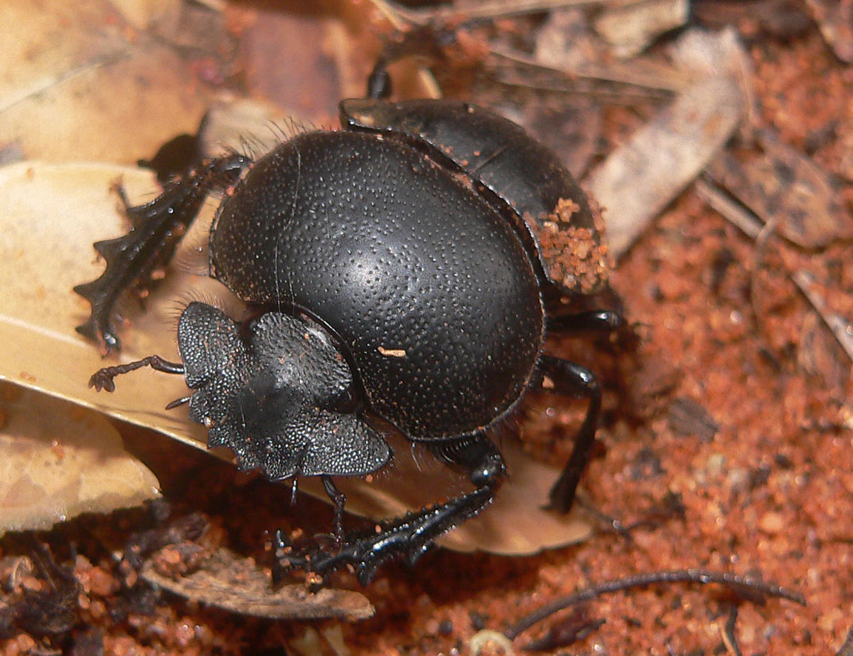 Sadly, a Dung Beetle's Life is Just a Ball of Dung