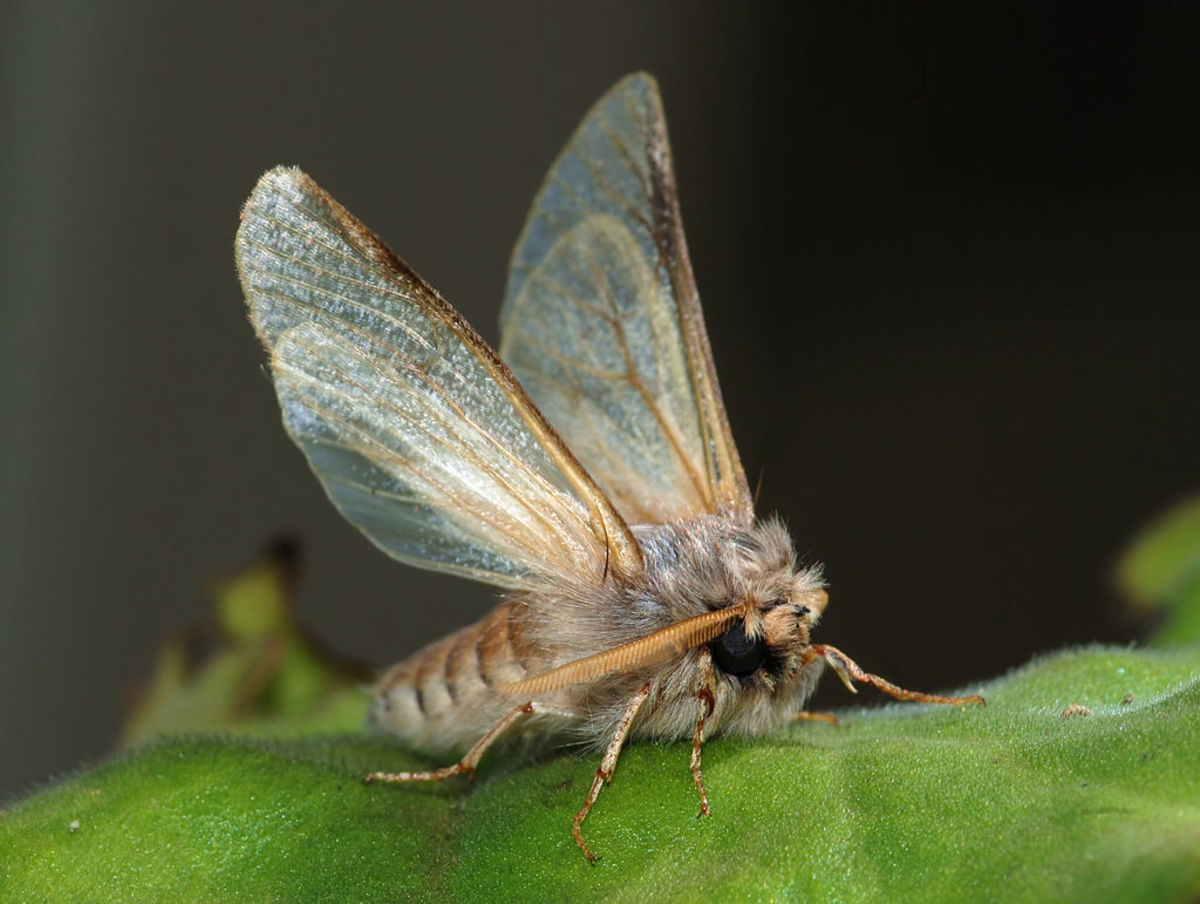 Moth Baiting: How to Create Moth Bait