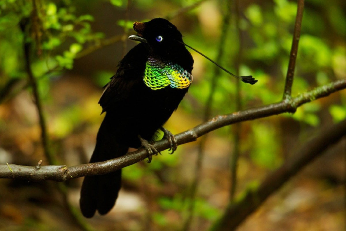 Bird of Paradise Facts