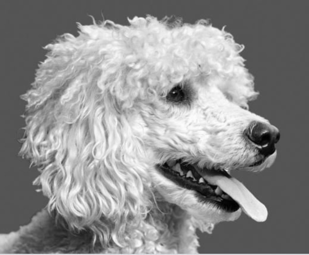 Addison's disease occurs when the dog's adrenal glands no longer work as they should.