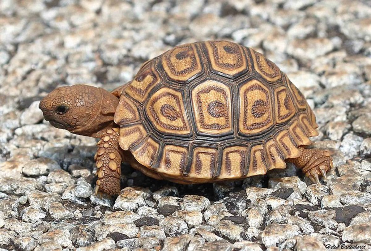 A healthy hatchling Leopard tortoise.