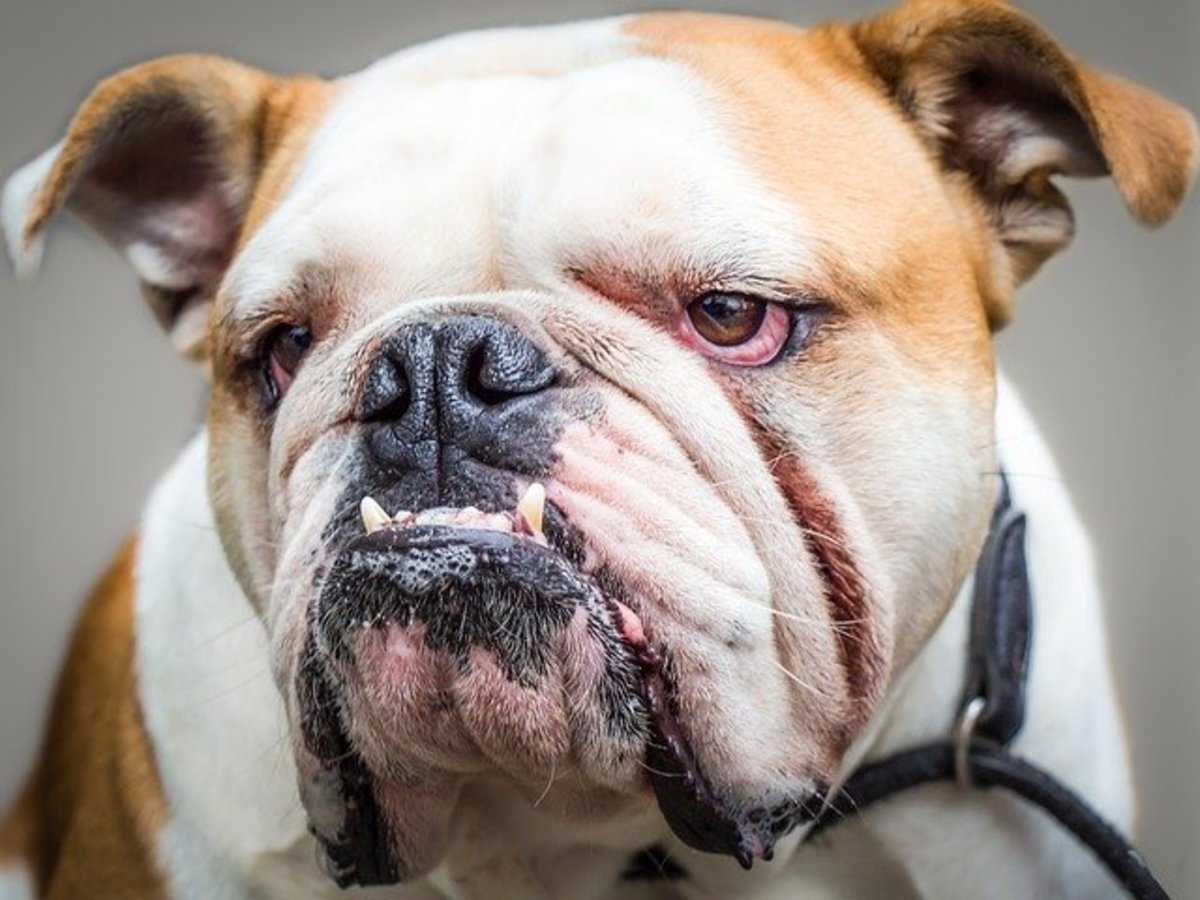 How to Cure and Prevent Bulldog Wrinkle Infections