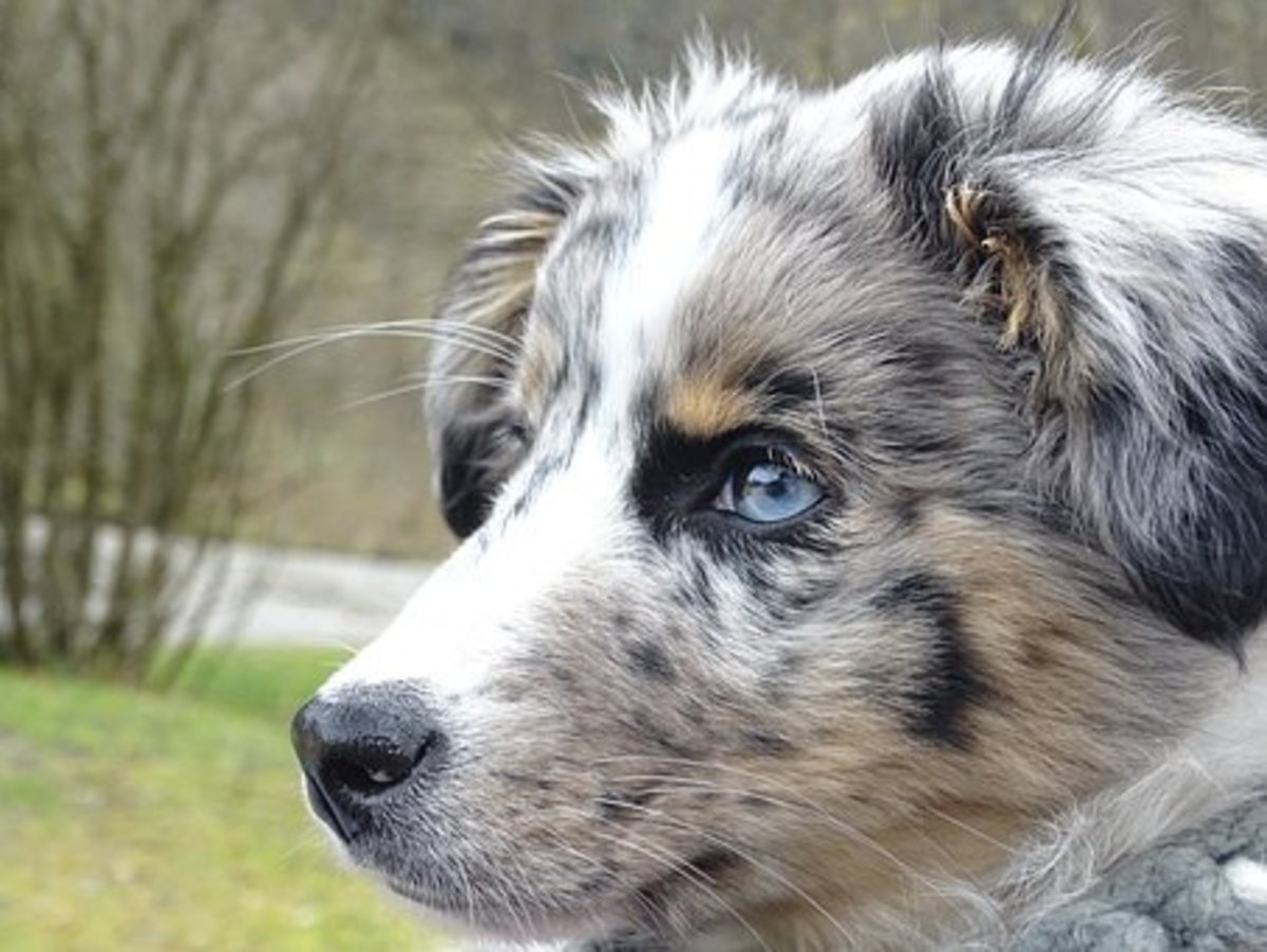 25 Australian Slang Names for Your Australian Shepherd