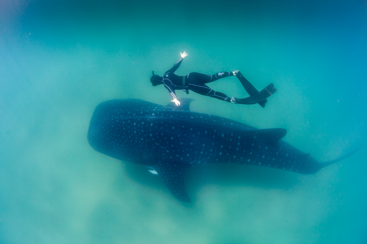 The whale shark is the world's biggest fish. Like its huge namesakes, it lives on a diet of plankton.