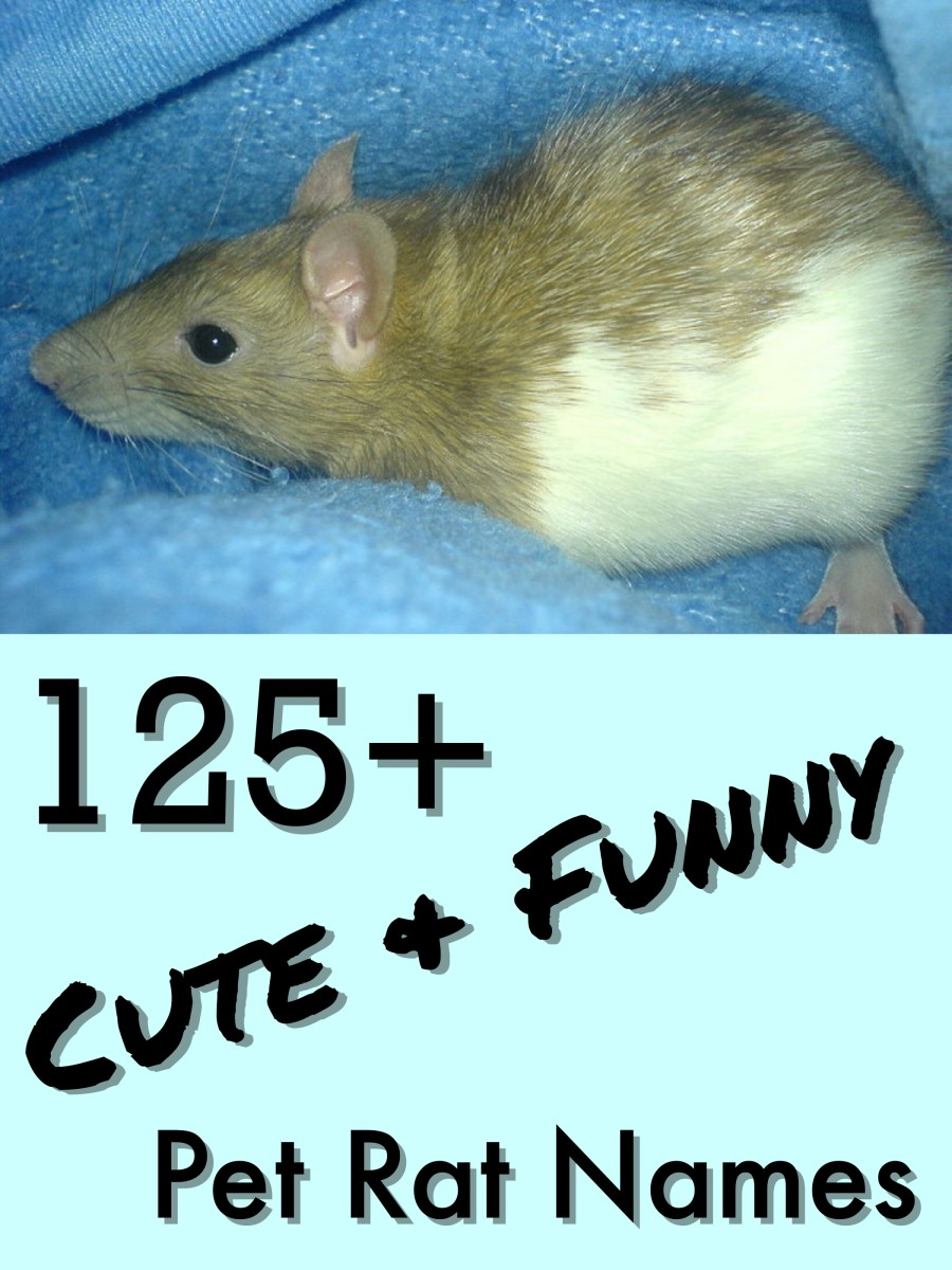 Over 125 clever names for your pet rat.