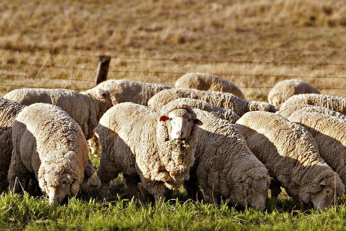 Natural Wool: Its Characteristics, Manufacturing Process, and Good Washing of Woolen Fabrics