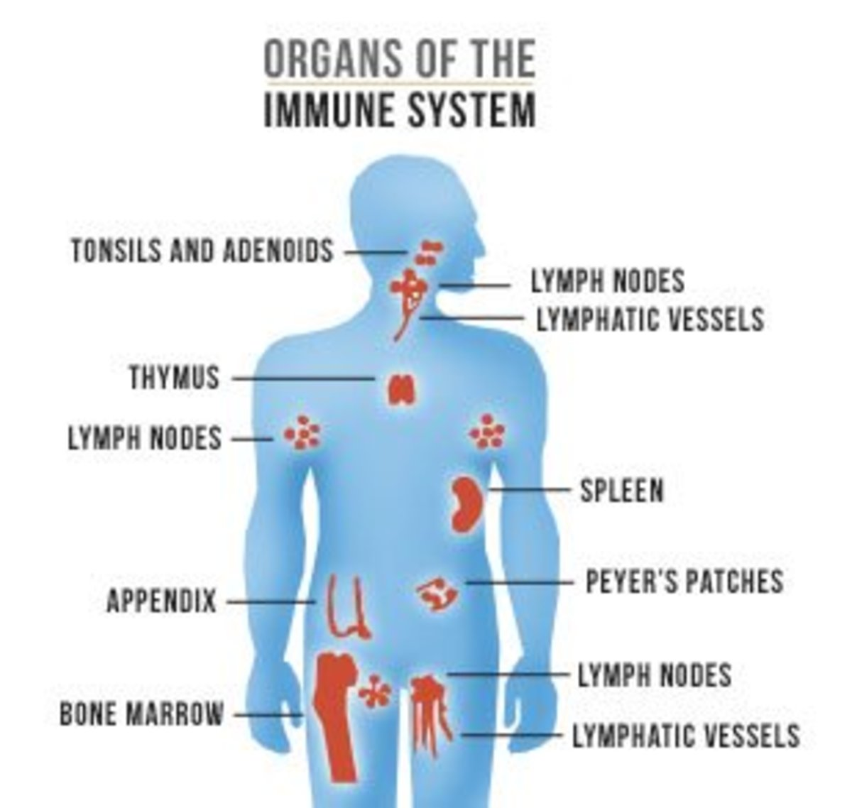 An Introduction to Your Immune System