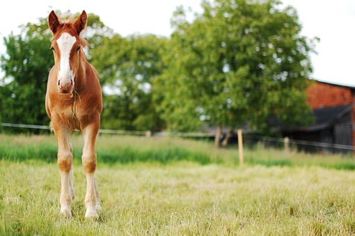 This little foal with his white blaze could make a fine Belenus.