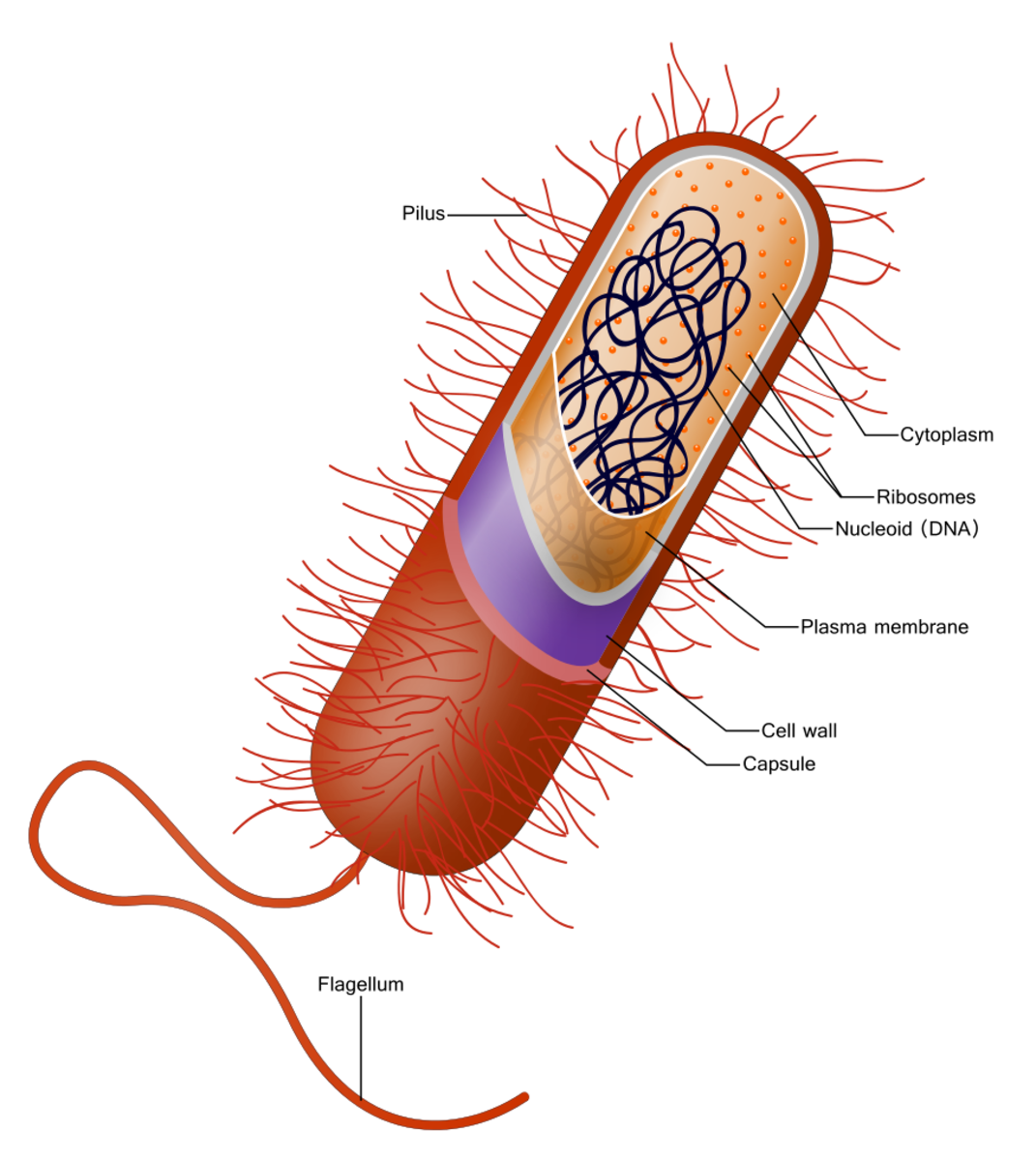A gram-positive bacterial cell