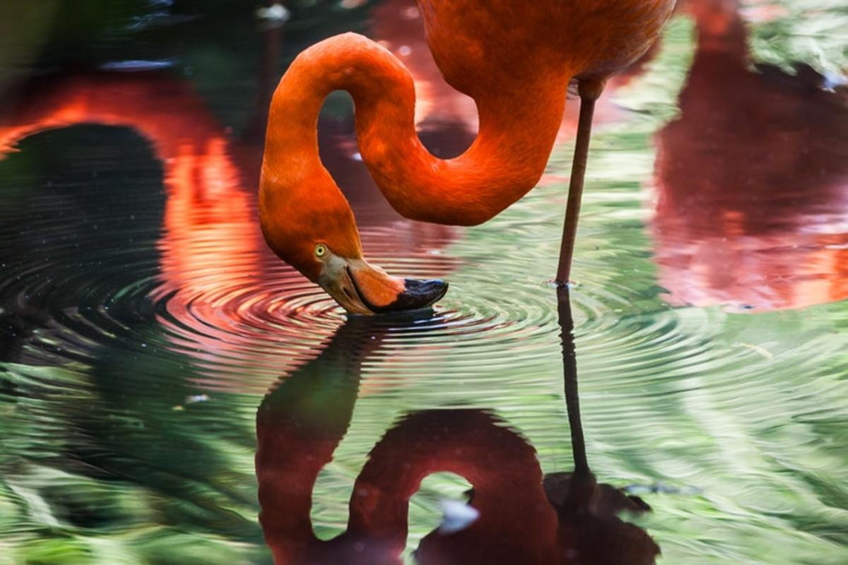 Top 5 Fantastic Facts and Feats Involving Flamingos