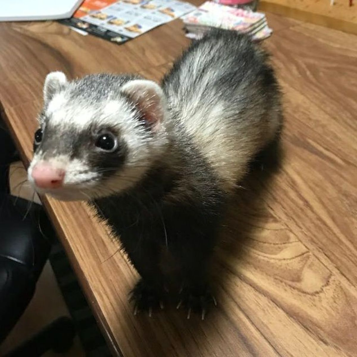 Basic Ferret Care and Facts