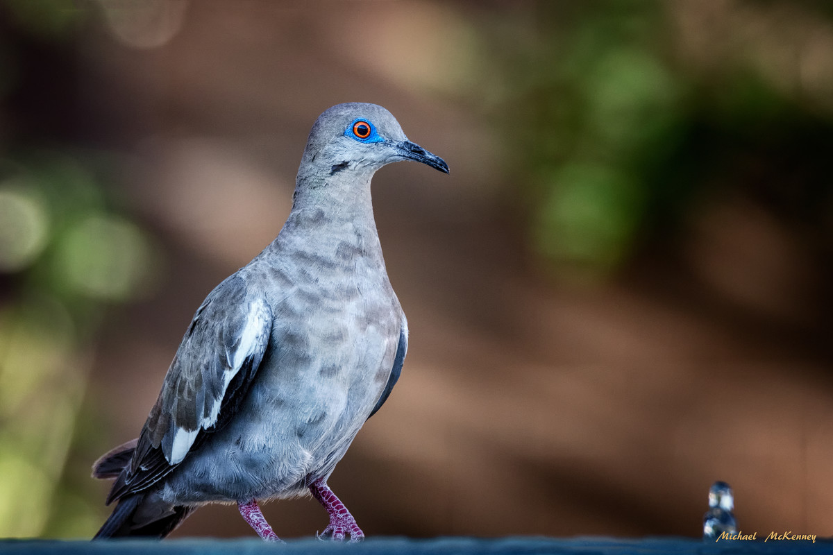 """The white-winged dove is very recognizable by the obvious stripe on its wings and the blue """"eye-shadow"""" around its red eyes. All white-winged doves also have a dark line on their cheeks."""