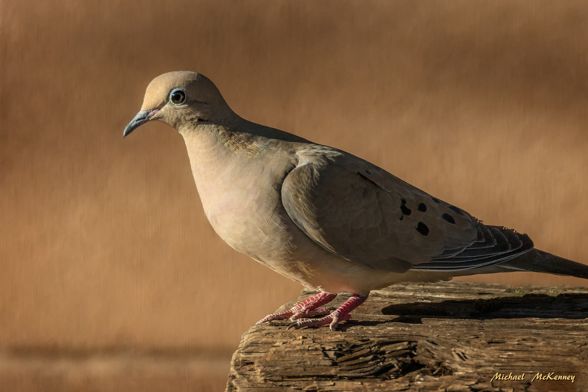 This mourning dove is one of a family of four that actually live in our front yard.  When we moved into our house, three of them were babies that got accustomed to me being out in the yard and didn't fly until I got within a few inches of them.