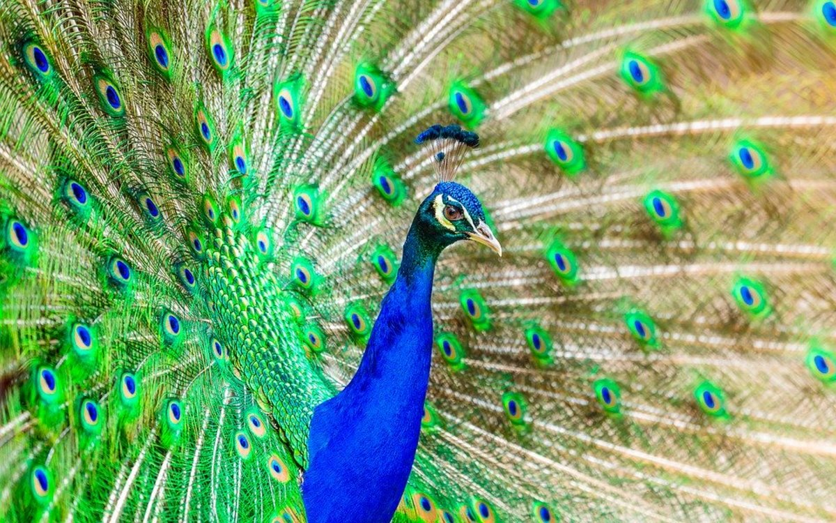 Everything You Need to Know About Pet Peacocks