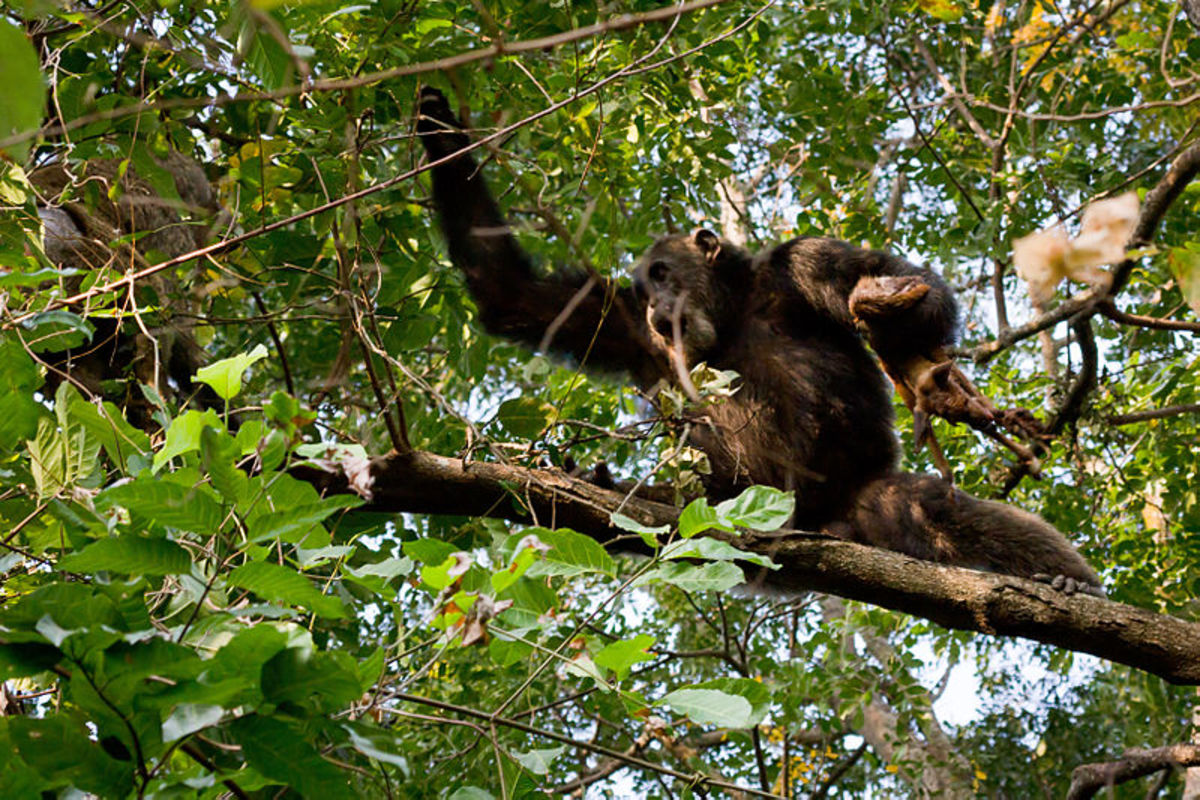 A male chimp with a recently killed bushbuck at Gombe National Park, Tanzania.