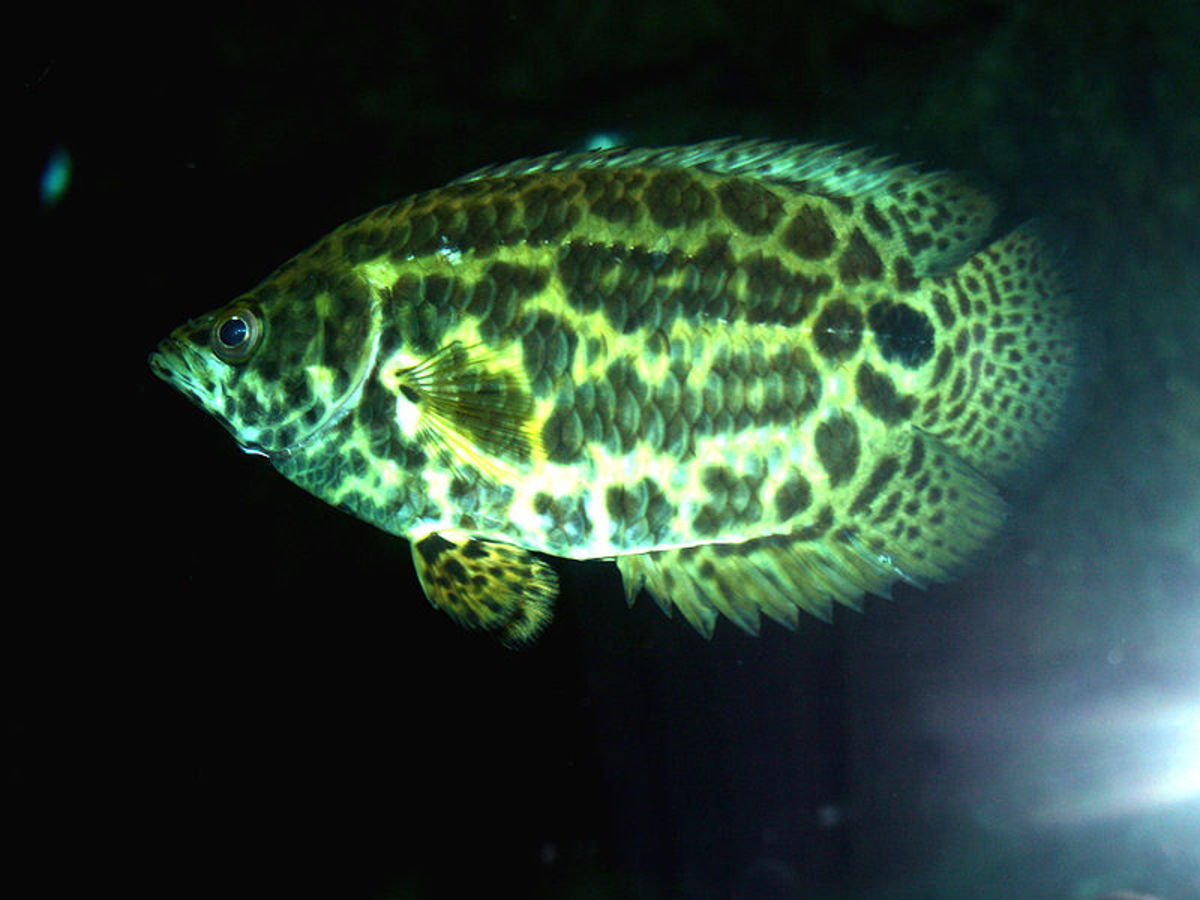 The leopard bush fish is colorful fish for a freshwater aquarium.