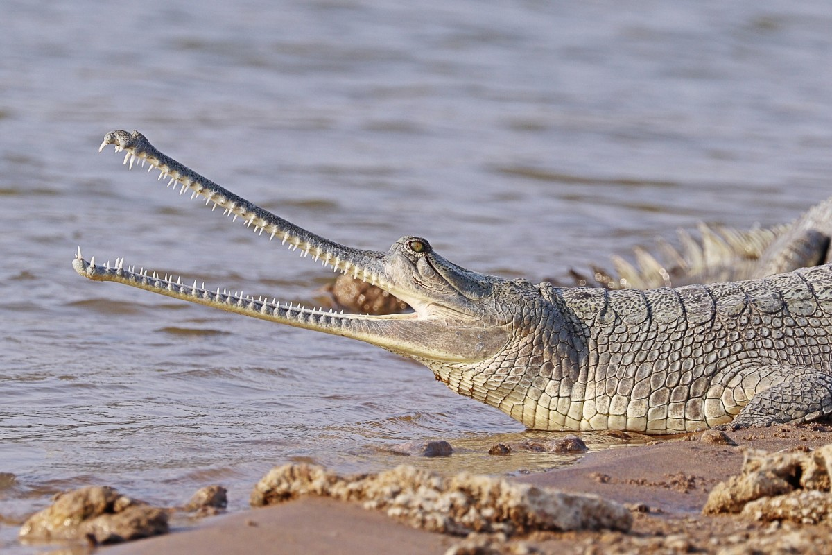 A female gharial in India