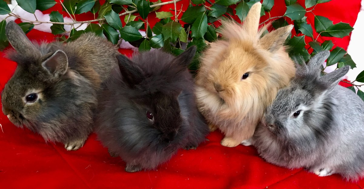 Rabbit breeders breed rabbits at other times besides just Easter. These guys are Lionhead Rabbits that I sold last year at Christmas time.