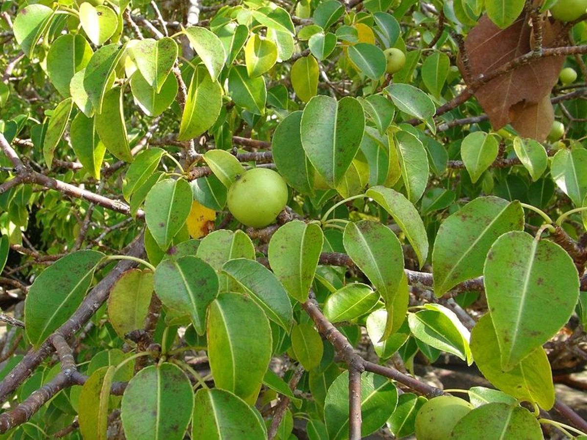 The Manchineel Tree