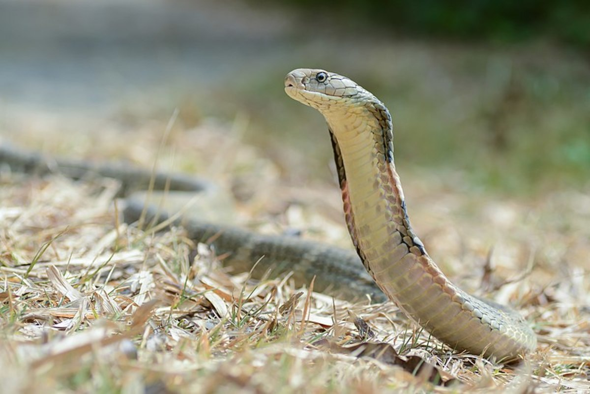 A picture of a king cobra in Kaeng Krachan National Park in Thailand.