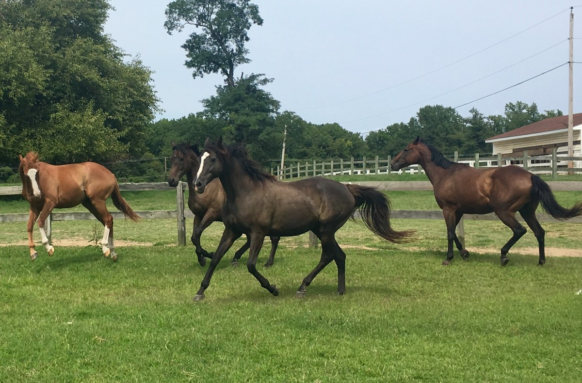 Notice Zoe, the horse closest to the camera, see how far forward her hinds legs push underneath of her at the trot. This is what causes the rising and falling of their backs that make them bouncy. Which is why we learn to post!