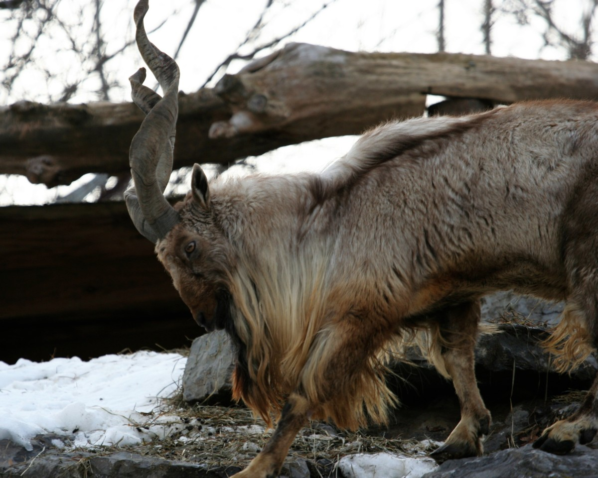 Top 10 Facts About Markhors