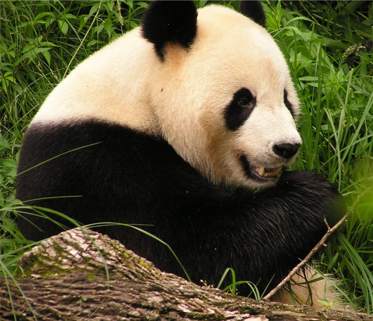 Top 10 Facts About Giant Pandas