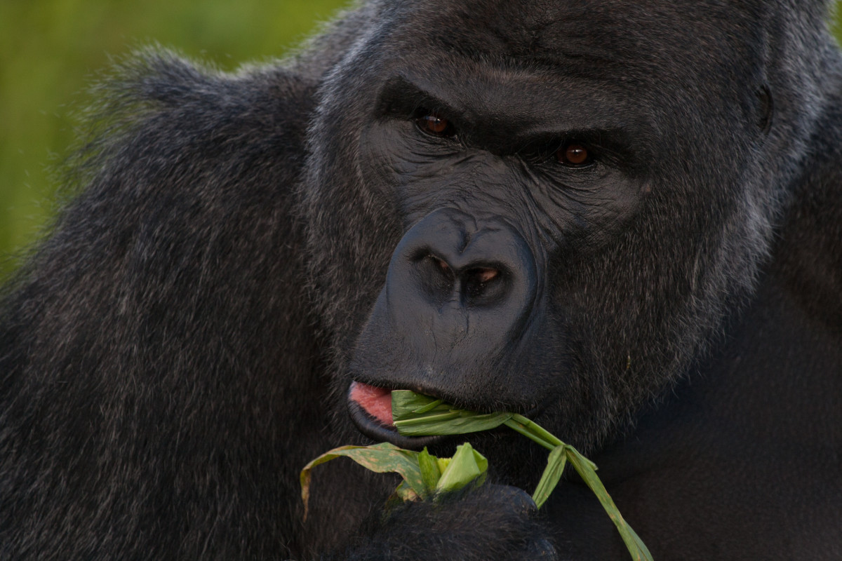 Top 10 Facts About Gorillas