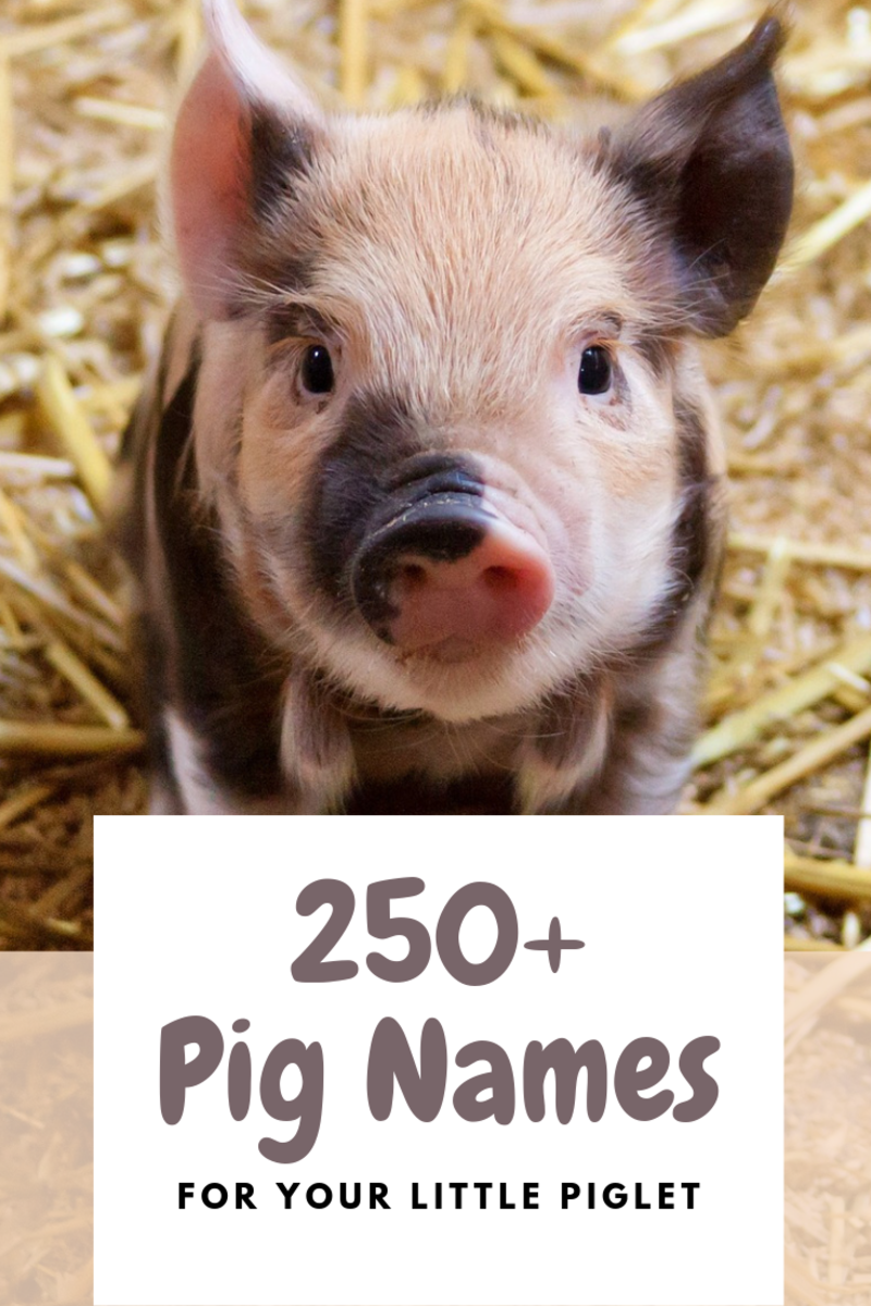 250+ Pet Pig Names for Your Little Piglet
