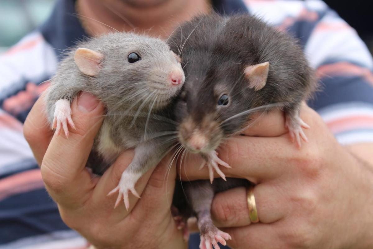 Just look at these cute and cuddly rats. Aren't they lovely? And they are annoying.