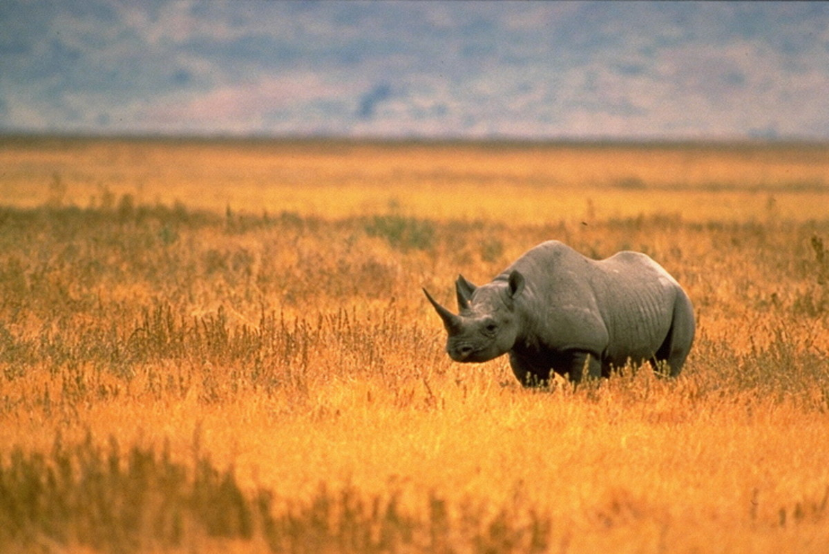 Top 10 Facts About Rhinoceroses