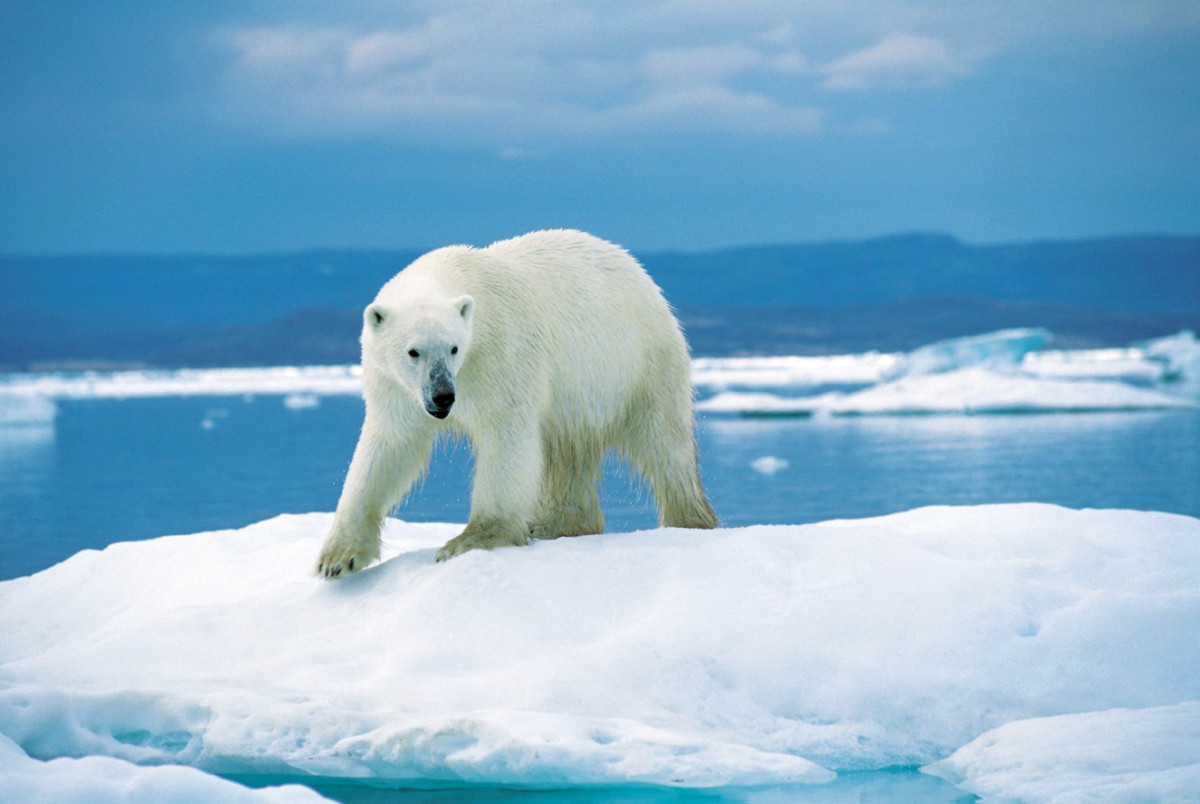 10 Facts About the Polar Bear