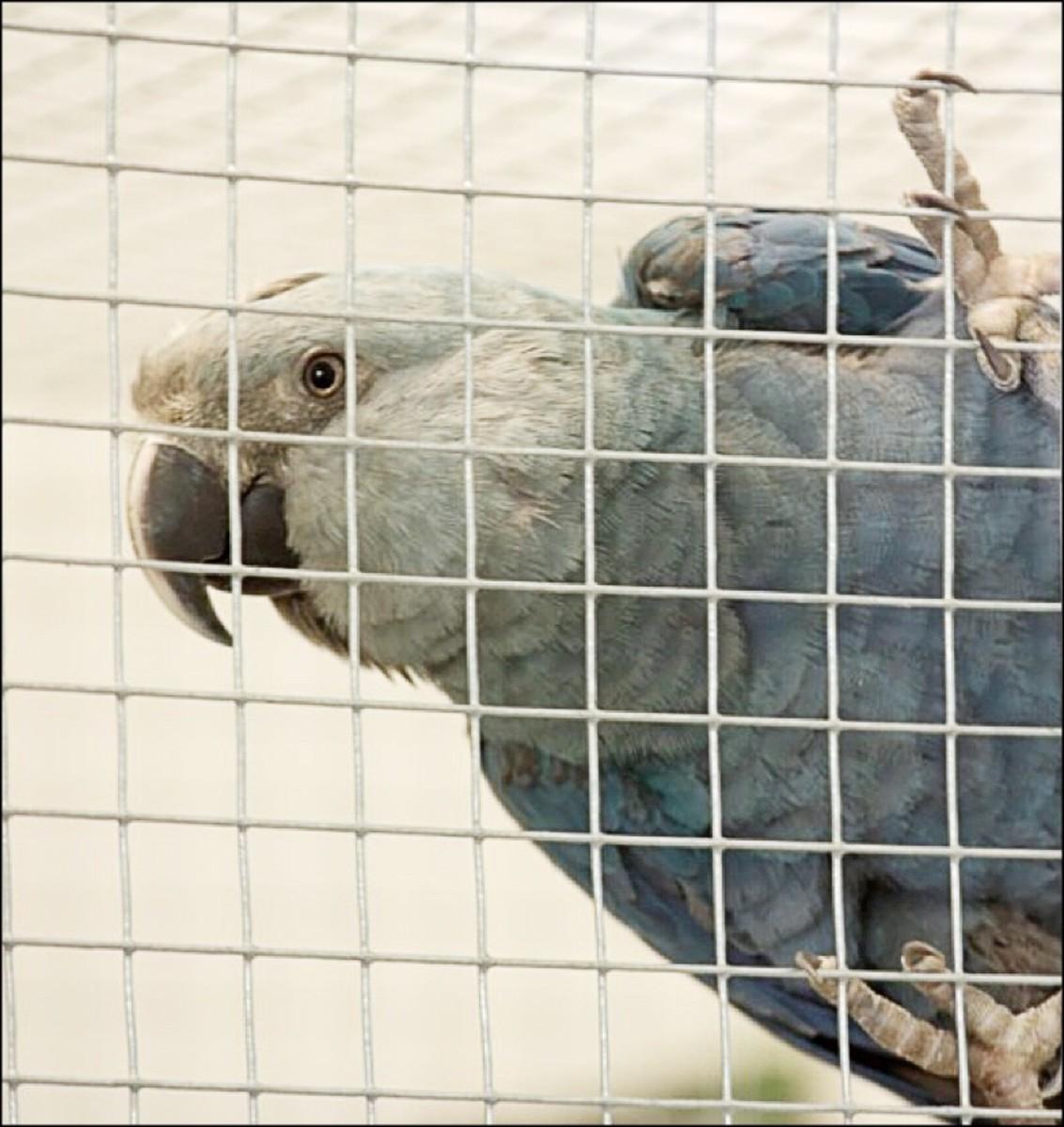 A juvenile Spix's macaw