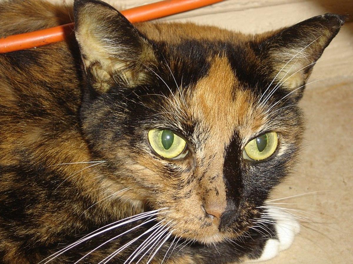 Hepatic Lipidosis (Fatty Liver Disease) in Cats