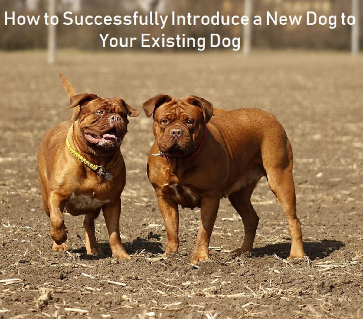 How to Successfully Introduce a New Dog to Your Current Dog