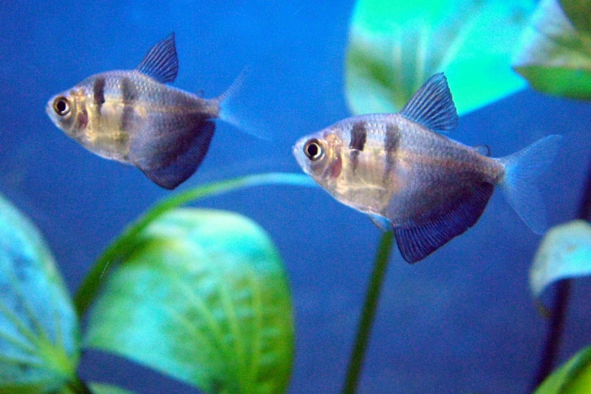 Black skirts are one of many species of tetra for the freshwater tropical aquarium.