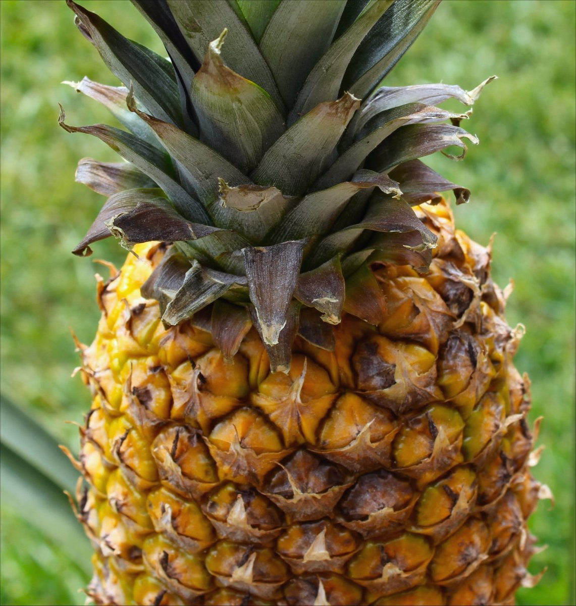 15 Unusual Facts About the Pineapple