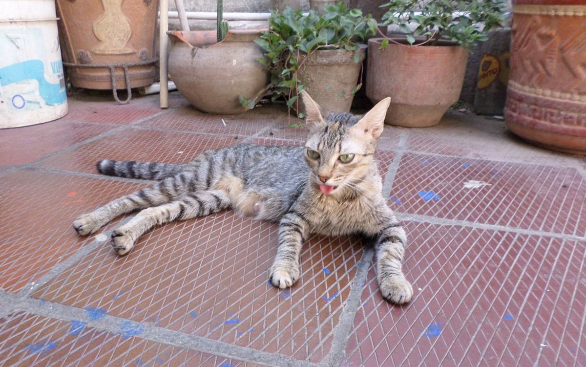 A Panting Cat is Not Usually a Happy Cat!