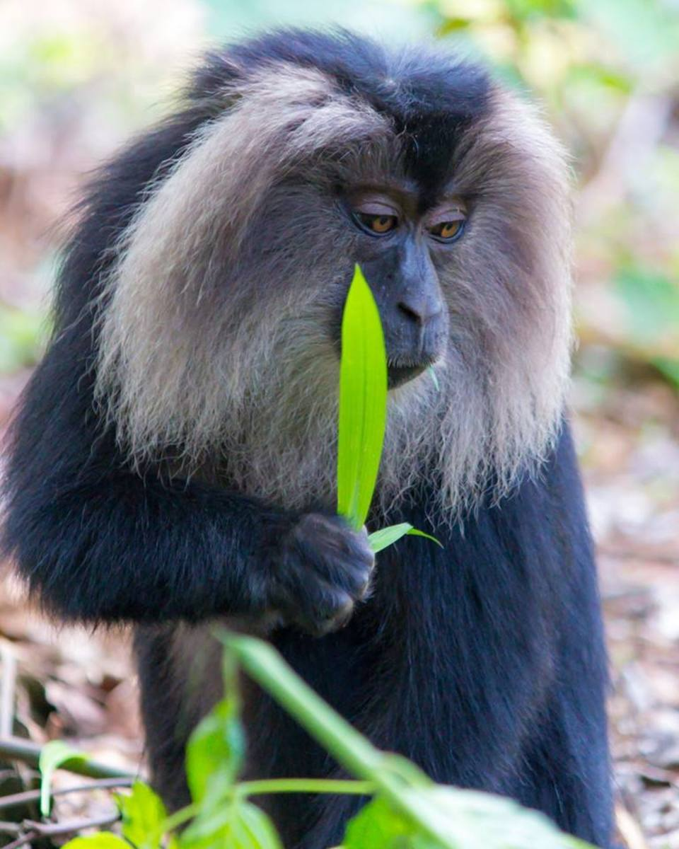 This lion-tailed macaque seems to be pondering the continuing loss of its necessary habitat in India, which has been dramatically reduced over the years as the progress of man has taken a toll on this endangered creature.