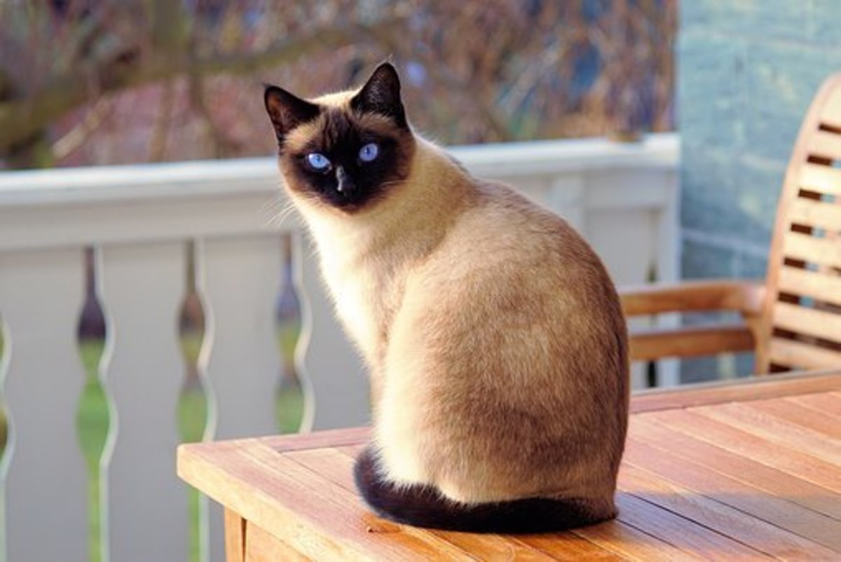Siamese cat waiting for a Native American name.