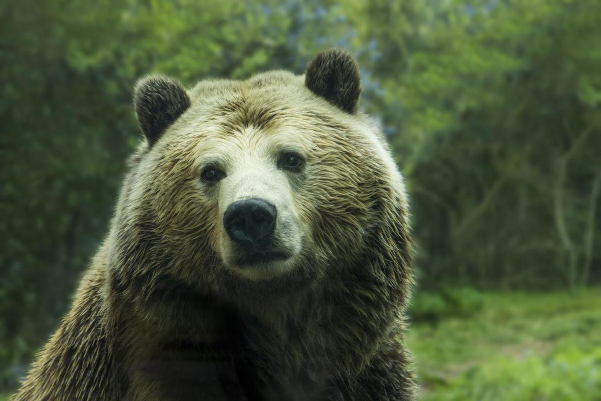 The Grizzly Bear: what a majestic creature.