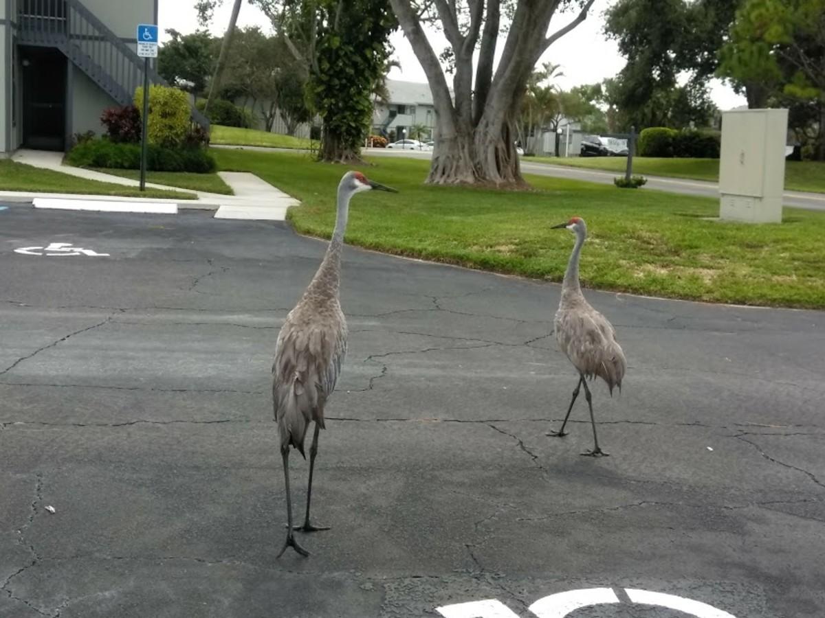 Sandhill Cranes in Hobe Sound, Florida