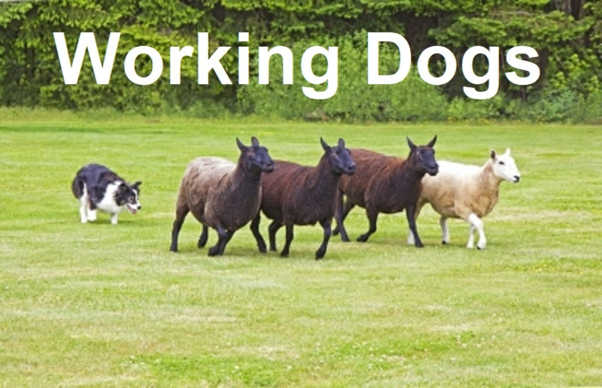 Working Dogs: Canine Strength and Stamina