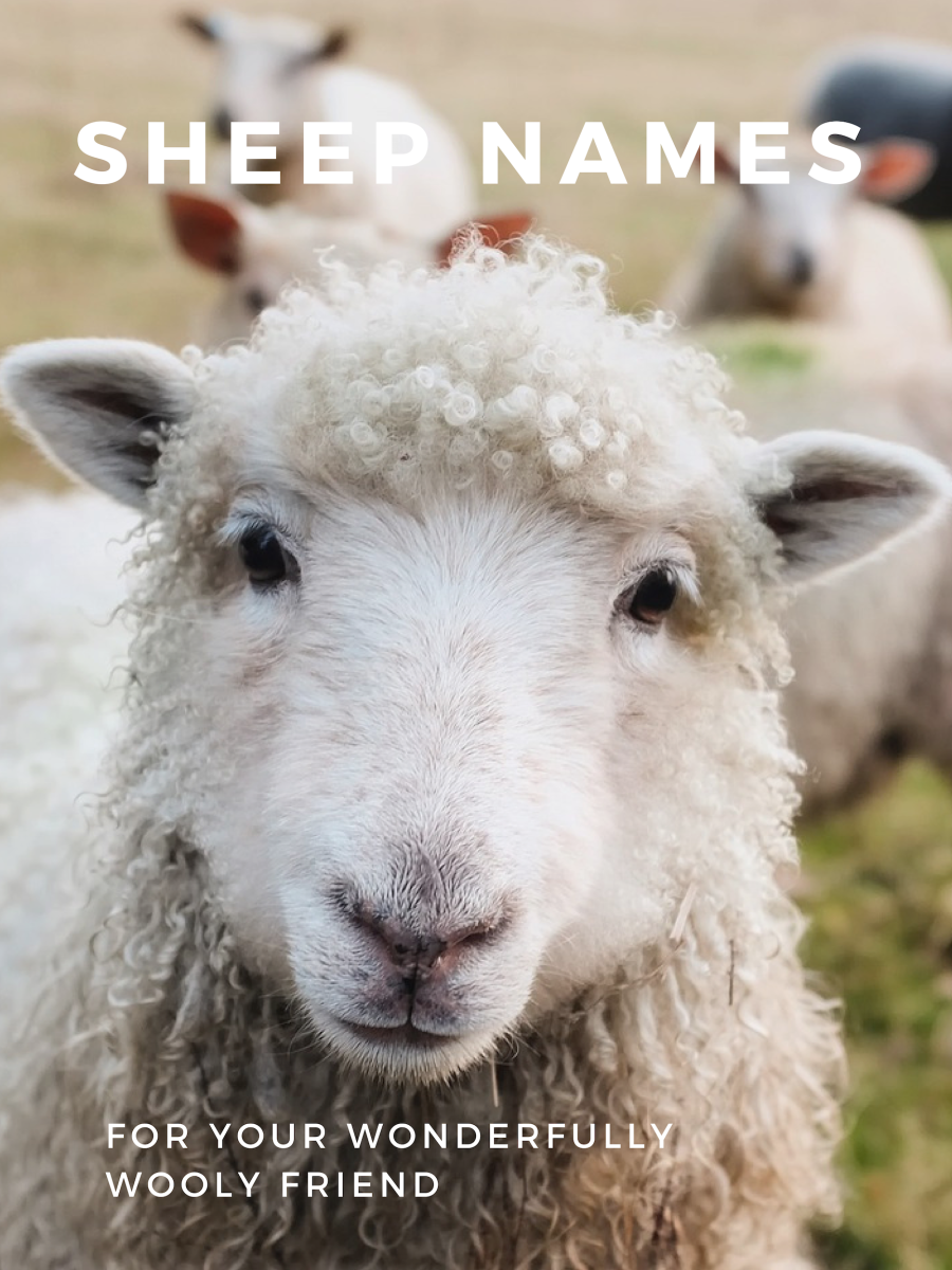 200+ Lamb and Sheep Names