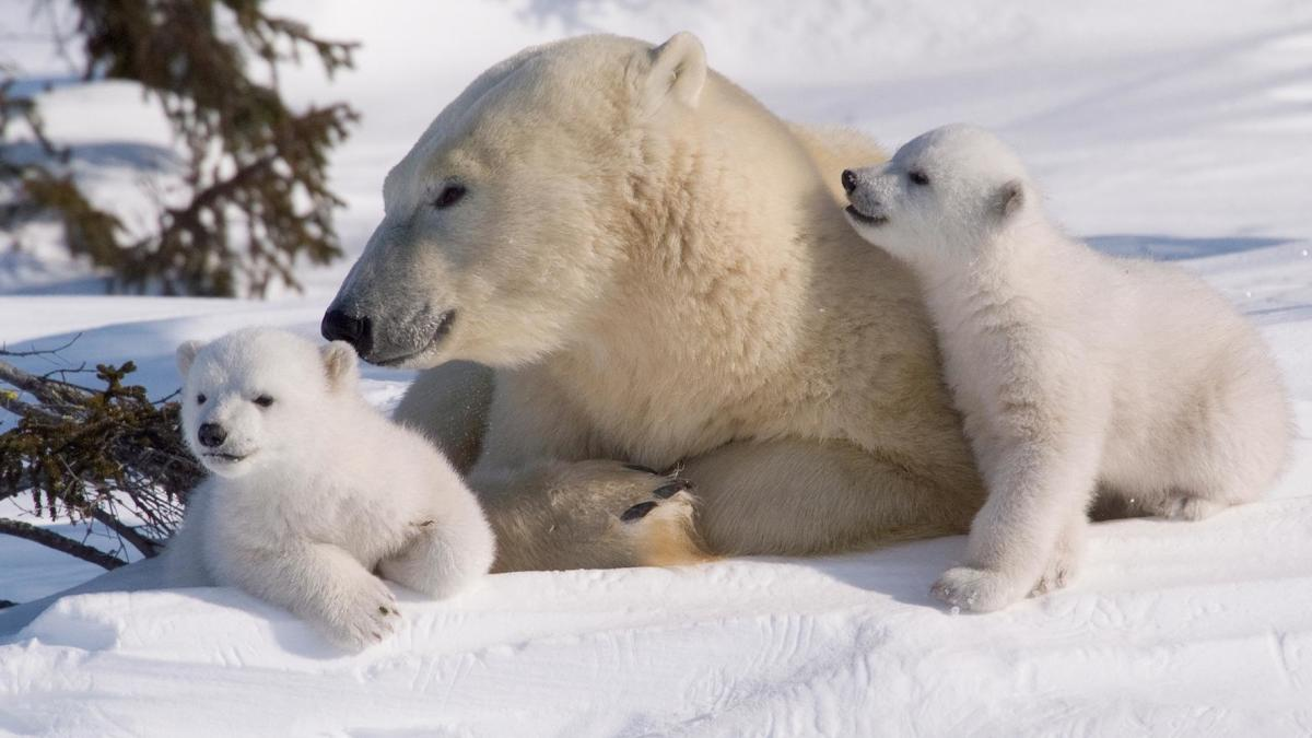 This mother polar bear and her two cubs look as if they would welcome your hugs with open paws...but make no mistake, this mother will protect her young with her life.  Polar bear cubs are born in winter in the mother's hide-out in the snow.