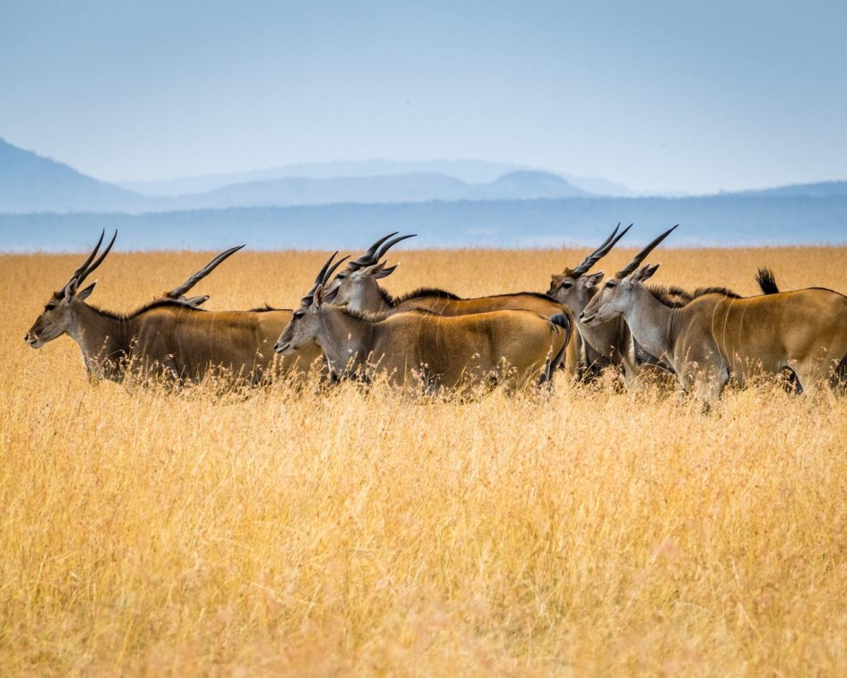 Top 6 Amazing Facts About the Massive Eland Antelope