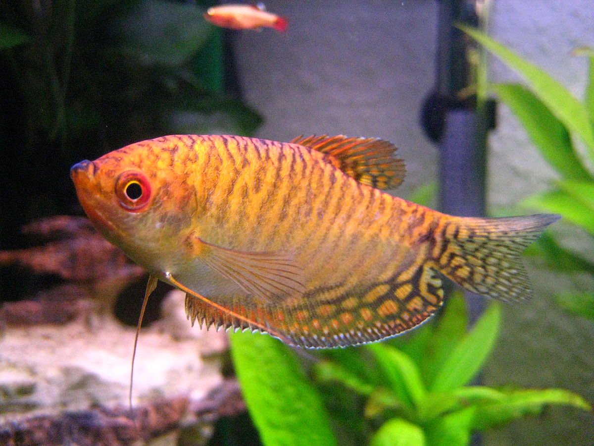 A single dwarf gourami is a good fish for a small tank.