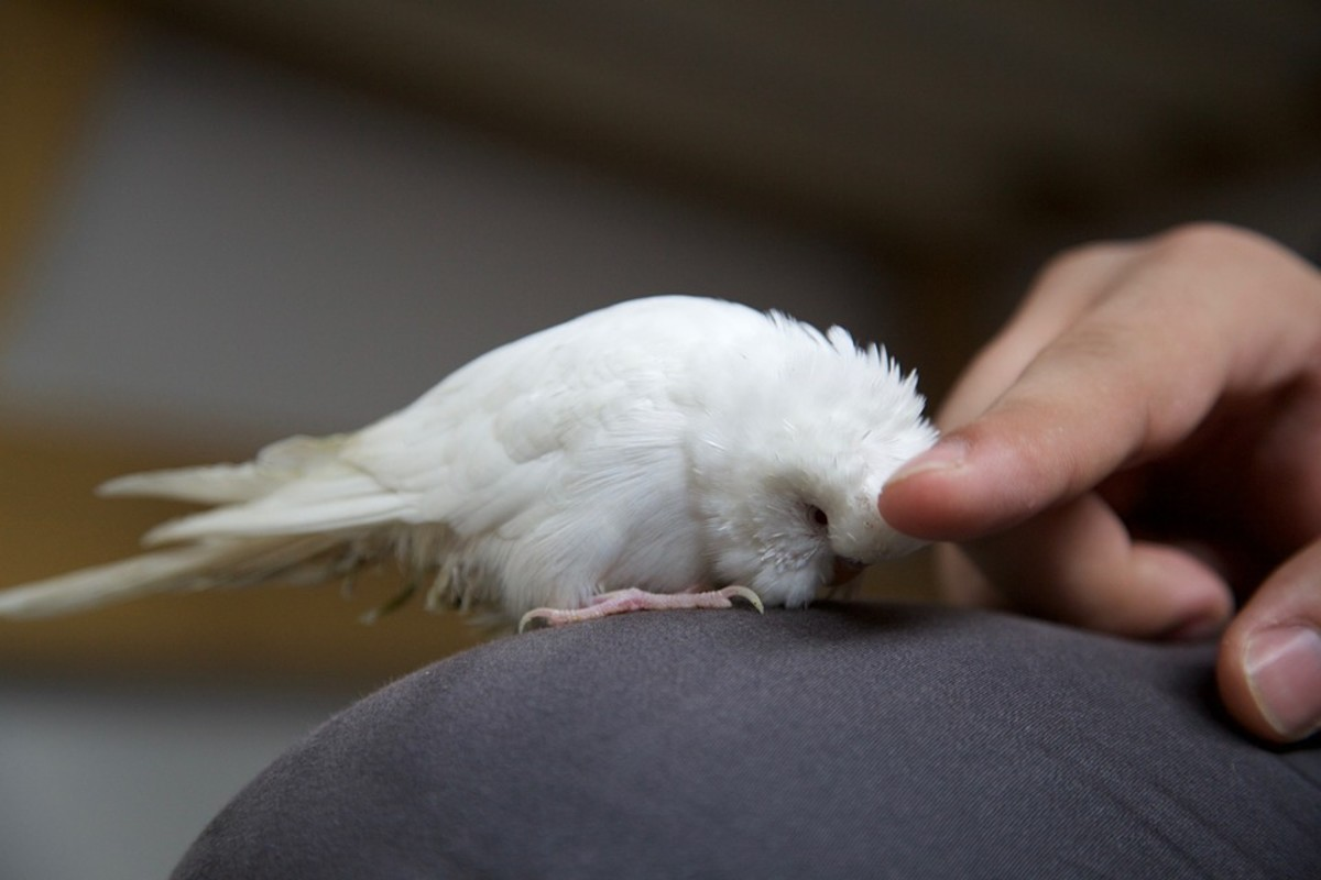 your-guide-to-your-first-pet-albino-budgie